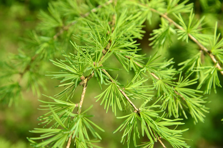 pinaceae: Branches with young green needles of a larch European (Larix decidua Mill.)