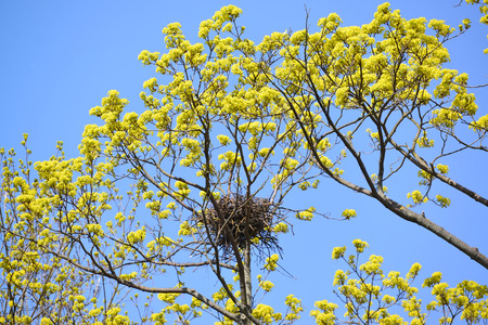 carrion: Spring. Carrion crows a nest on branches of the blossoming maple