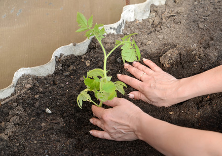 hothouse: Hands of the woman put tomato seedling in hothouse soil Stock Photo