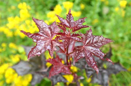 acer platanoides: Maple acutifoliate Crimson King (Acer platanoides Crimson King), young plant Stock Photo