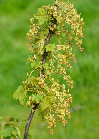 ribes: Branch of the blossoming red currant (Ribes rubrum L.)