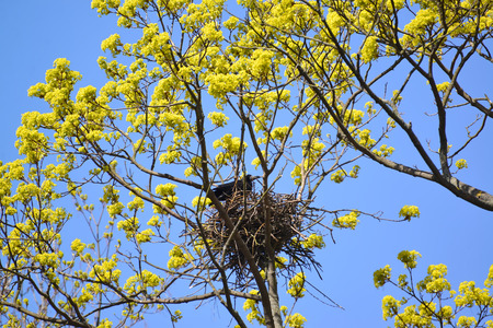 blossoming yellow flower tree: Spring. The rook costs in a nest on branches of the blossoming maple Stock Photo