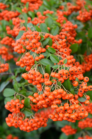 mountain ash: Mountain ash sudetsky (Sorbus sudetica Fritsch), branches with fruits