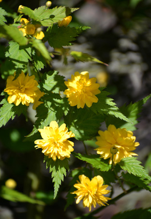 terry: The blossoming Kerriya Japanese terry (Kerria japonica)