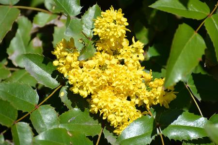 trailing: The blossoming trailing mahonia (Mahonia aquifolium (Pursh) of Nutt.)