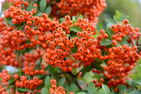 sorbus: Mountain ash sudetsky (Sorbus sudetica Fritsch), branches with fruits