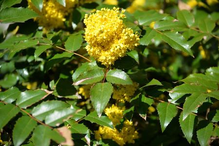barberry: The blossoming trailing mahonia (Mahonia aquifolium (Pursh) of Nutt.)