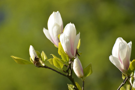 bod: The blossoming magnolia of Sulanzha (Magnolia ×soulangeana Soul. - Bod.) Stock Photo