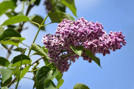 sensation: Branch of the blossoming lilac (Syringa L.), a grade Sensation (Sensation) against the sky