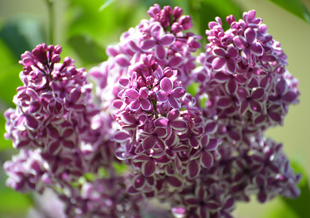 sensation: Branch of the blossoming lilac (Syringa L.), grade Sensation (Sensation)