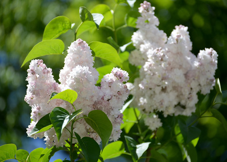 The blossoming white terry lilac (Syringa L.), grade Beauty of Moscow (Krasavitsa Moskvy) Stock fotó