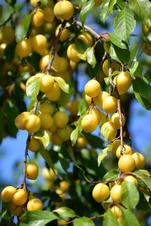 prunus cerasifera: Mature yellow cherry plum (Prunus cerasifera)