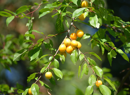 prunus cerasifera: Branch with fruits of a yellow cherry plum (Prunus cerasifera)