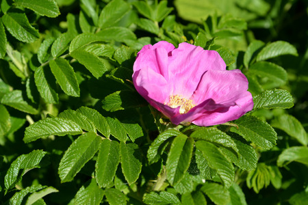 rosaceae: The blossoming dogrose wrinkled (a rose wrinkled) (Rosa rugosa L.)