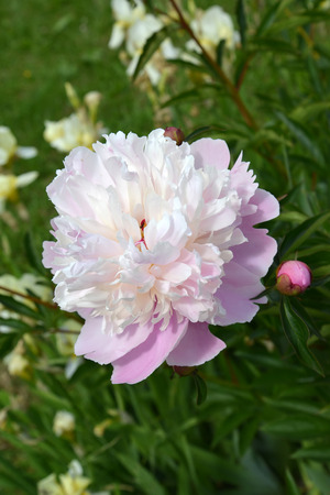 paeonia: The blossoming white-pink peony (Paeonia L.) Stock Photo