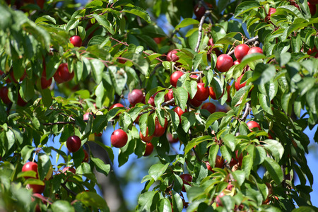 prunus cerasifera: Ripe red cherry plum (Prunus cerasifera) Stock Photo