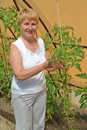 average woman: The woman of average years with plants of tomatoes in the greenhouse