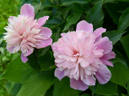 paeonia: Two flowers of a peony (Paeonia L.), close up
