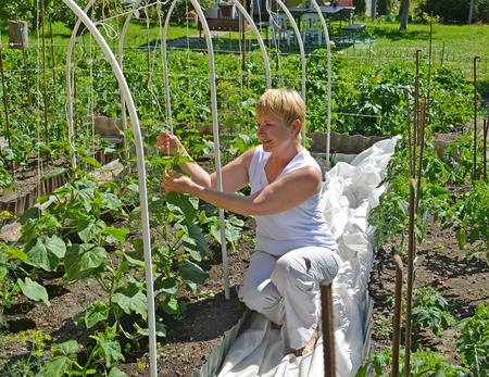 average woman: The woman of average years ties up cucumber plants in a kitchen garden Stock Photo