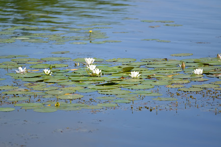 nymphaea: The blossoming water-lily white (Nymphaea alba L.) on a surface of the water