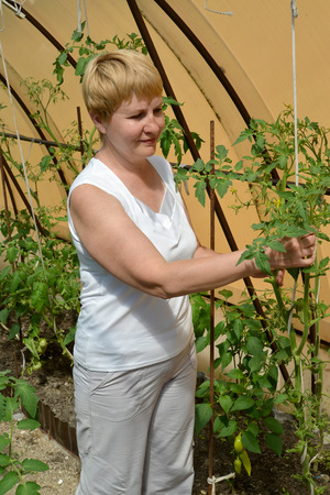 45 50 years: The woman of average years tears off stepsons of tomatoes in the greenhouse