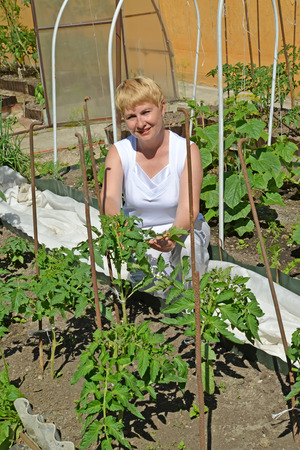 45 50 years: The woman of average years tears off stepsons of tomatoes in a kitchen garden Stock Photo