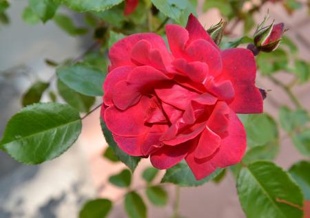 crimson colour: Large crimson rose