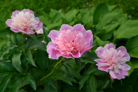 paeonia: Blossoming of pink peonies (Paeonia L.)