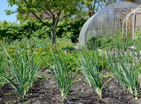 cebolla: Las cebollas verdes crecen en un jardín de cocina en la dacha de temporada
