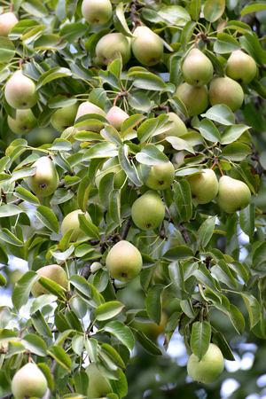 pyrus: Mature fruits of a pear hang on a tree (Pyrus communis L.)
