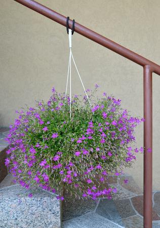 lobelia: Lobelia Erinus (Lobelia erinus L.) hangs in a cache-pot over a house ladder