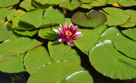 nymphaea: Flower of a pink water-lily (Nymphaea L.) Stock Photo