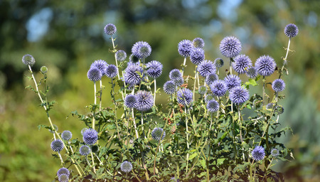 ex: The blossoming globe thistle Banat (Echinops bannaticus Rochel ex Schrad.)