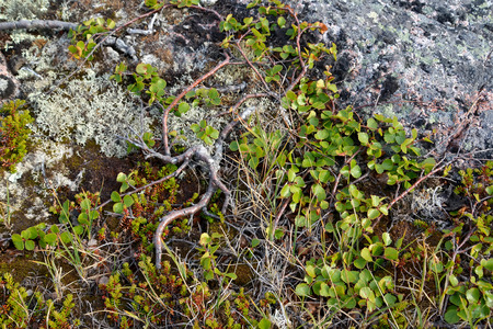 dwarfish: Dwarfish birch (Betula nana L.) grows in the tundra. Kola Peninsula Stock Photo