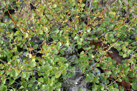 dwarfish: Branches with leaves of a dwarfish birch (Betula nana L.). Kola Peninsula Stock Photo