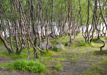 thickets: Thickets of subarctic birches in the summer on the bank of the lake. Murmansk region
