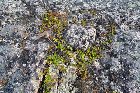 dwarfish: Dwarfish birch (Betula nana L.) grows in the stony tundra. Kola Peninsula
