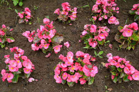ever: Plants of a begonia of ever flowering (Begonia semperflorens Link & Otto) are planted to the soil Stock Photo