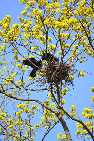 aceraceae: Rooks twist a nest on branches of the blossoming maple. Spring landscape
