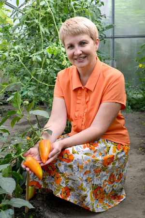 The woman of average years gathers sweet pepper in the greenhouse Stock Photo