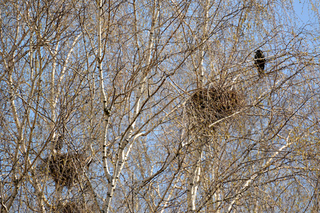 carrion: Carrion crows of a nest on branches of young birches. Spring landscape