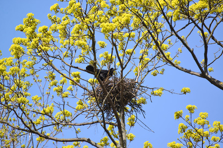 aceraceae: The rook costs in a nest on branches of the blossoming maple. Spring landscape