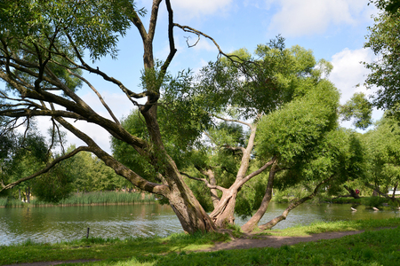 The sprawling willow grows on the bank of a pond. Summer landscape Stock Photo