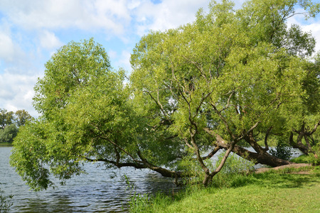 willows: Willows grow on the bank of a pond. Summer landscape