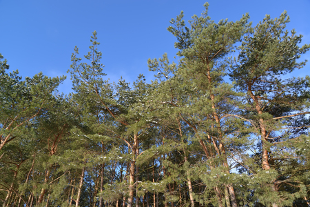 pinaceae: Pines ordinary against the blue sky