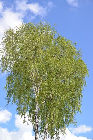 betula pendula: Krone of a birch of warty (Betula pendula) against the blue sky Stock Photo