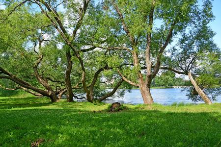 holguin: Old sprawling willows grow on the bank of Holguin of a pond, Kolonistsky park