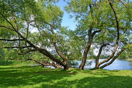 holguin: Old sprawling willows grow on the bank of Holguin of a pond. Peterhof, Kolonistsky park