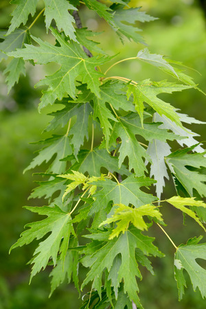 silvery: Maple silvery, a branch with leaves