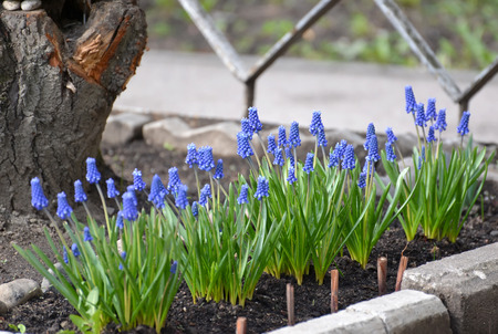 asparagus bed: The blossoming mouse hyacinth racemose (Muscari botryoides (L.)